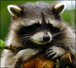 Punta Gorda raccoon removal