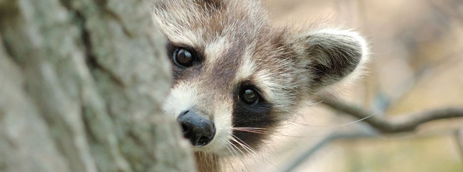 Riverview Raccoon Removal