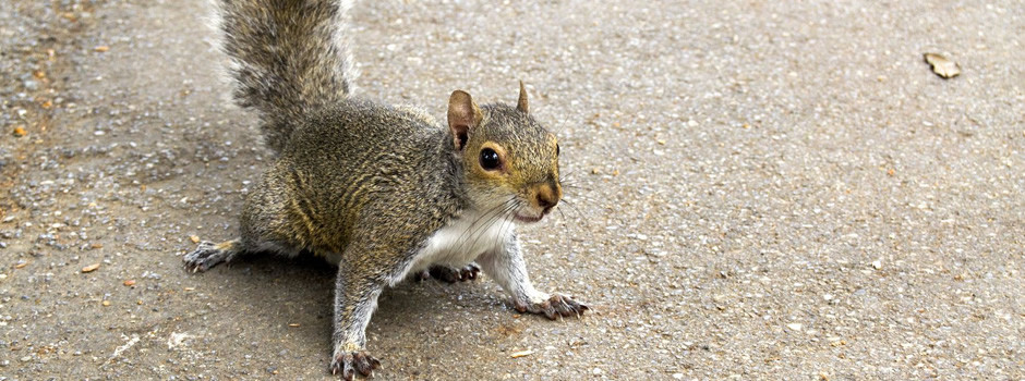Riverview Squirrel Removal